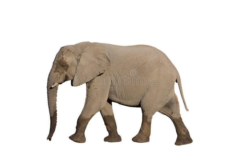 Całkowity słoń na bielu fotografia stock