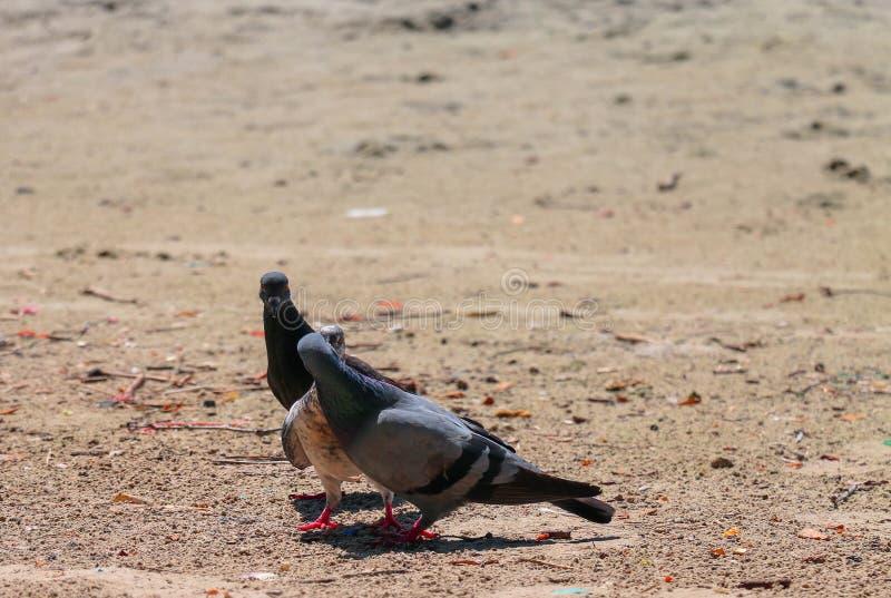 całowanie gołębie fotografia stock
