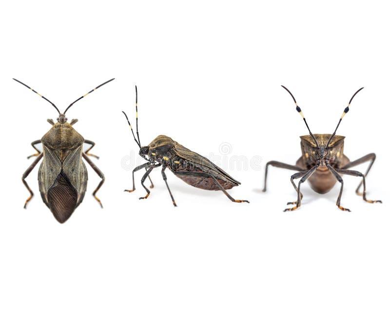 Całowanie pluskwy Chagas choroby wektoru triatomine; zdrowia ludzkiego emerg obraz royalty free