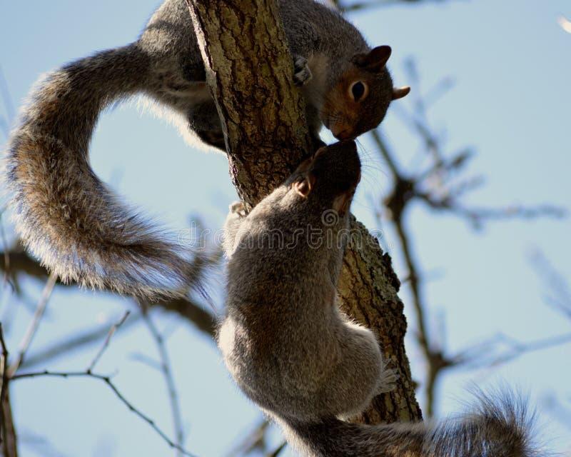 Całowanie wiewiórki obraz royalty free