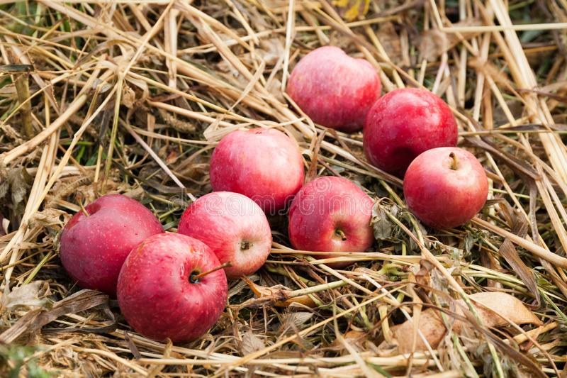 Ca?da roja de la manzana de la agricultura deliciosa del oto?o, comida de la fruta fresca, cosecha foto de archivo libre de regalías