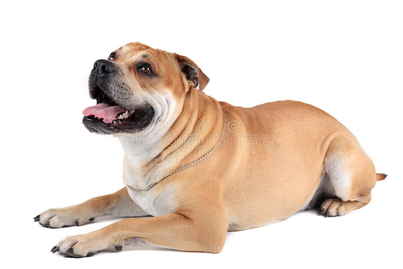 ca de Bou (Mallorquin大型猛犬, Mallorquin牛头犬, Perro多戈Ma 库存照片
