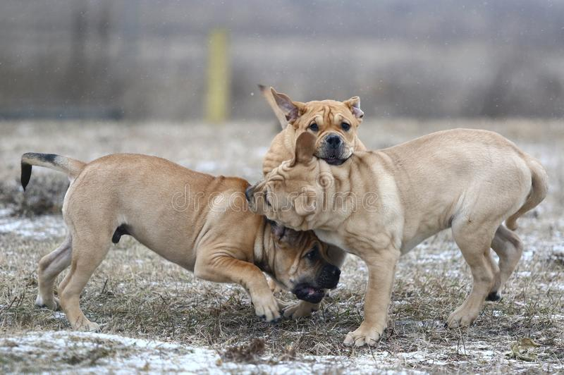 Ca de Bou Mallorquin Mastiff puppy dogs. Three brown three months old Ca de Bou Mallorquin Mastiff male puppy dogs playing outdoors royalty free stock image