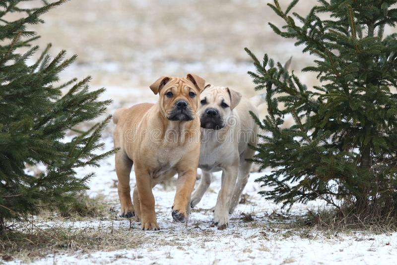 Ca de Bou Mallorquin Mastiff puppy dogs. Two 3 months old Ca de Bou Mallorquin Mastiff female puppy dogs playing outdoors royalty free stock images