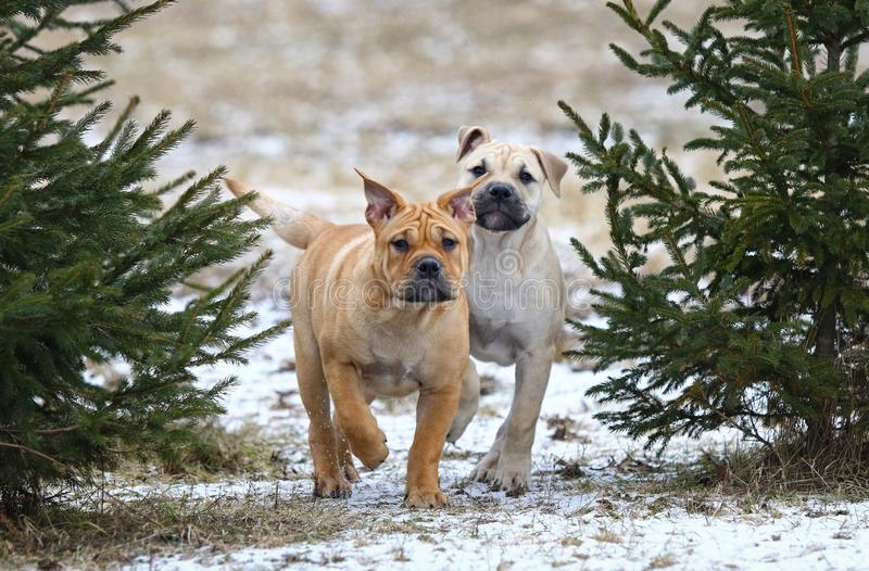 Ca de Bou Mallorquin Mastiff puppy dogs. Two 3 months old Ca de Bou Mallorquin Mastiff female puppy dogs playing outdoors stock photo