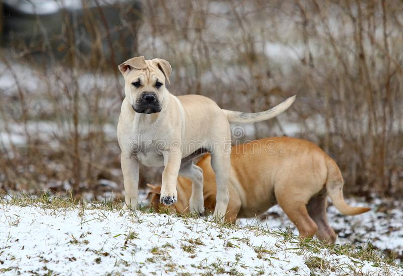 Ca de Bou Mallorquin Mastiff puppy dogs. Two 3 months old Ca de Bou Mallorquin Mastiff female puppy dogs playing outdoors stock image