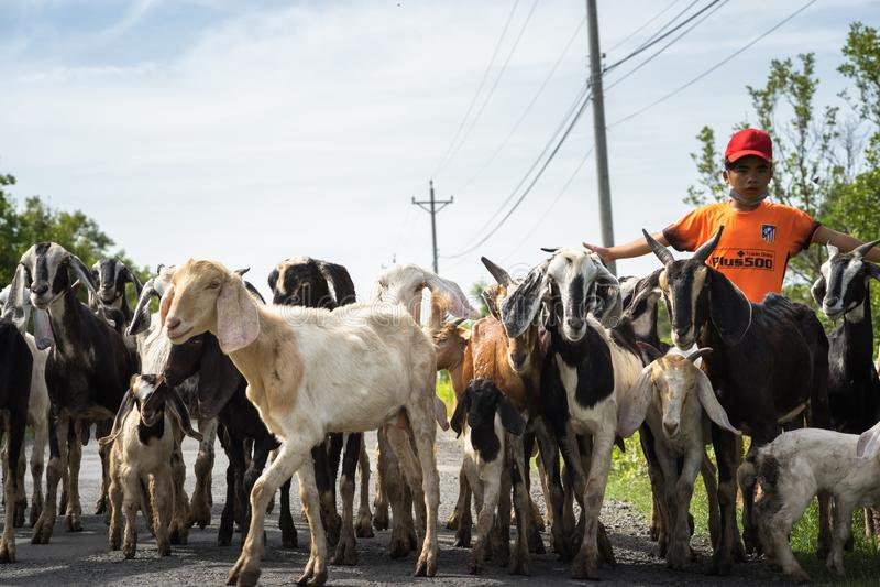 Ca Mau,越南- 2016年12月6日:回来从草地家的山羊牧群在Ngoc Hien区 库存照片