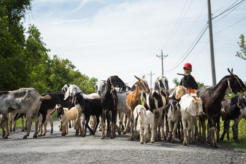 Ca Mau, Vietname - 6 de dezembro de 2016: Rebanho das cabras que voltam da casa do campo de grama no distrito de Ngoc Hien fotos de stock
