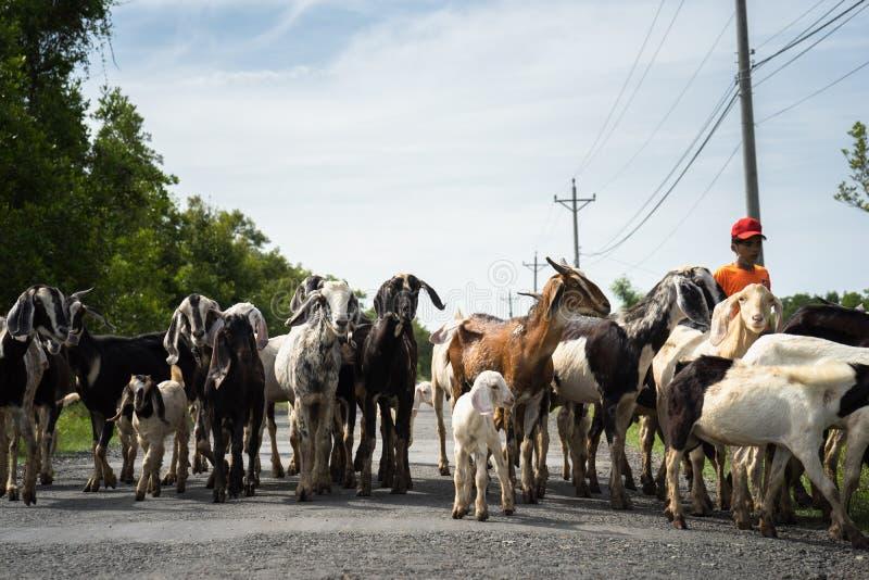 Ca Mau, Vietname - 6 de dezembro de 2016: Rebanho das cabras que voltam da casa do campo de grama no distrito de Ngoc Hien fotografia de stock royalty free