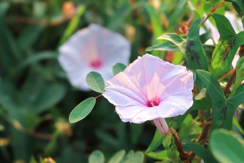 Cabaña de pantano o flor de gloria matutina de agua en soleado fotografía de archivo