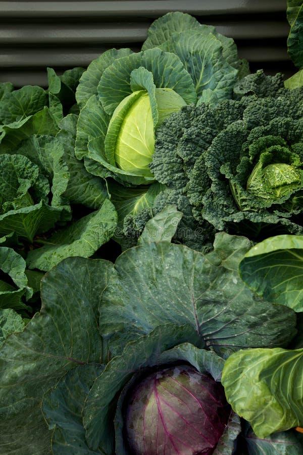 cabages uprawiają ogródek warzywa obraz stock