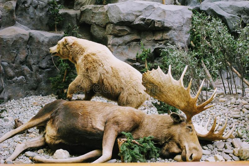 Cabala& x27; animal de s Pensilvania imagem de stock royalty free