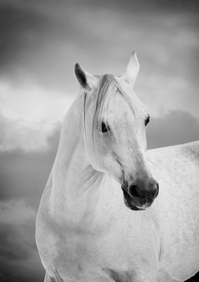 Caballo árabe blanco fotos de archivo