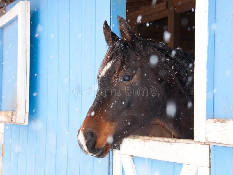 Caballo árabe de la bahía oscura que mira fuera de un granero azul fotos de archivo libres de regalías