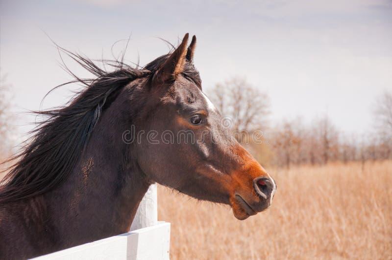 Caballo árabe de la bahía oscura que mira sobre una cerca del tablero blanco imagen de archivo libre de regalías