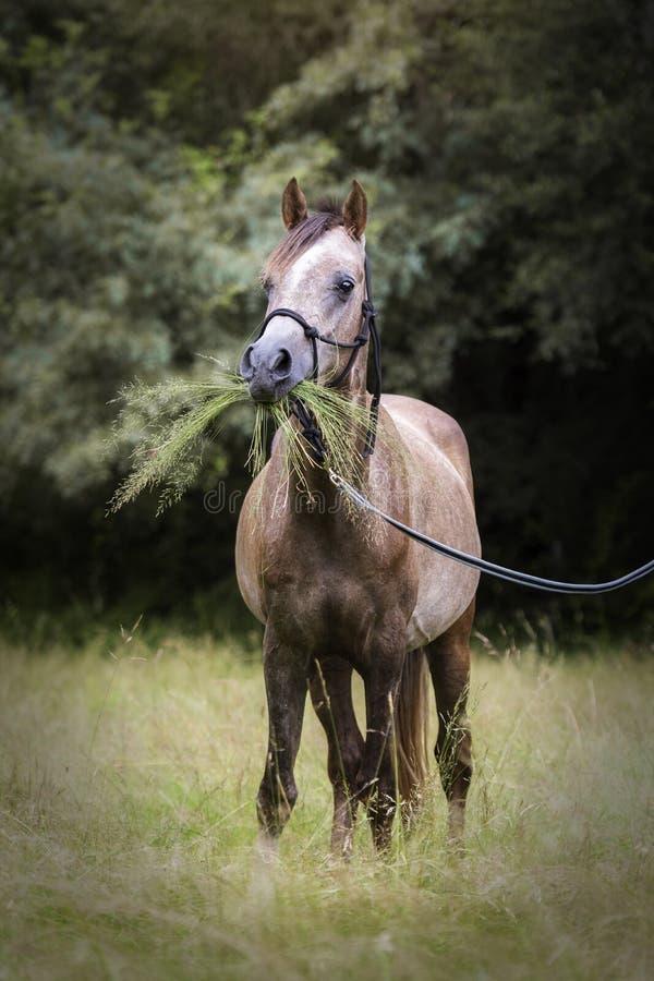 Caballo árabe divertido con mucha hierba en su boca imagen de archivo