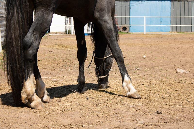 caballo árabe que come la hierba en rancho fotos de archivo