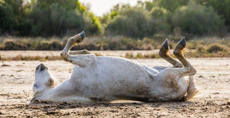Caballo blanco de Camargue que miente en su parte posterior en la tierra Parc Regional de Camargue francia Provence imágenes de archivo libres de regalías