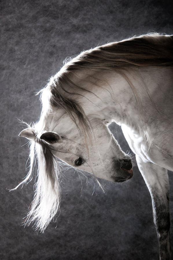 Caballo blanco en el fondo oscuro fotografía de archivo