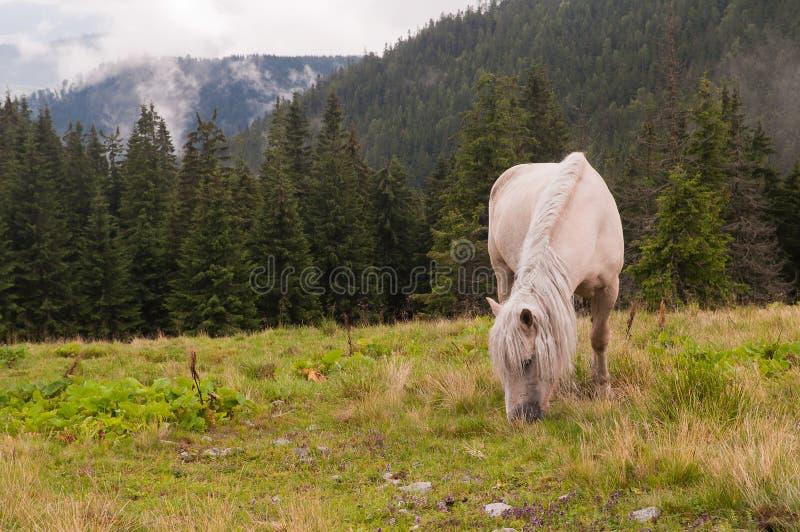 Caballo blanco en el pasto de la montaña Montañas cárpatas Ukrai imágenes de archivo libres de regalías
