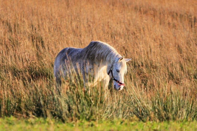 Caballo blanco en el prado foto de archivo libre de regalías