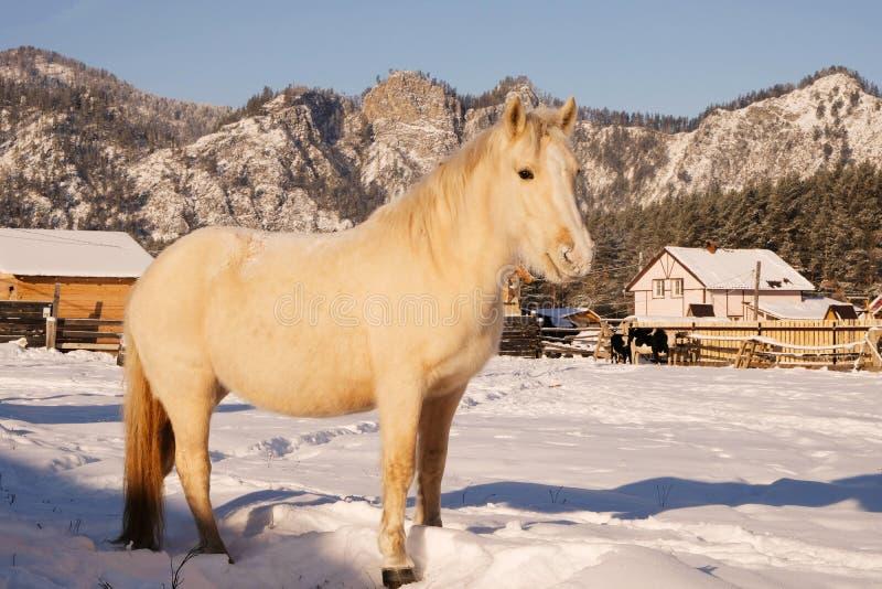 Caballo blanco en establo Caballo en pasto del invierno Montañas de Altai Paisaje rural imágenes de archivo libres de regalías
