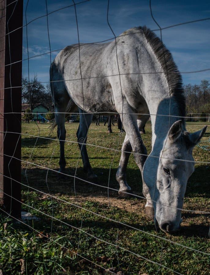 Caballo blanco en tiro verde del campo a través de la cerca fotografía de archivo