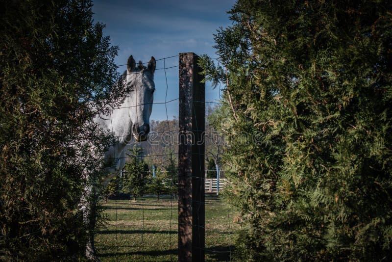 Caballo blanco en tiro verde del campo a través de la cerca foto de archivo libre de regalías