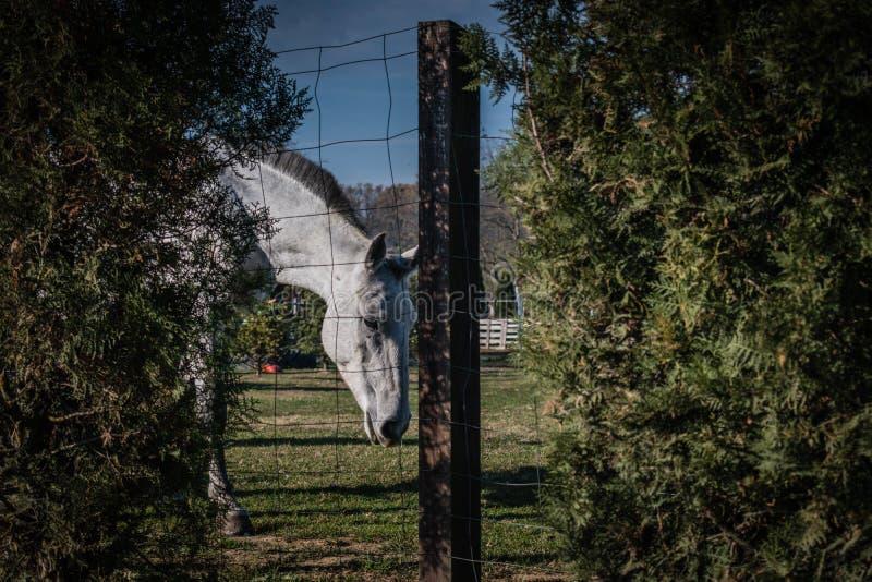Caballo blanco en tiro verde del campo a través de la cerca imagen de archivo libre de regalías