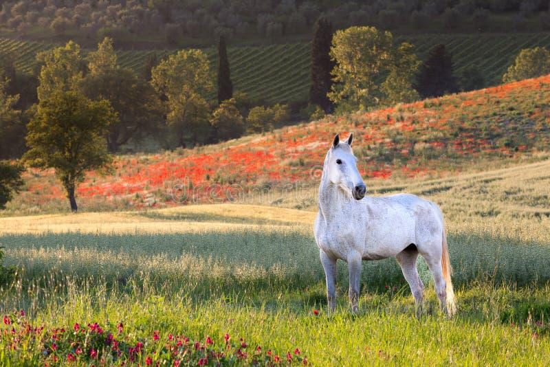 Caballo blanco en Toscana fotografía de archivo