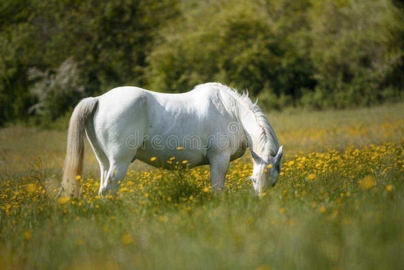 Caballo blanco hambriento que come en un campo por completo de flores amarillas imagenes de archivo