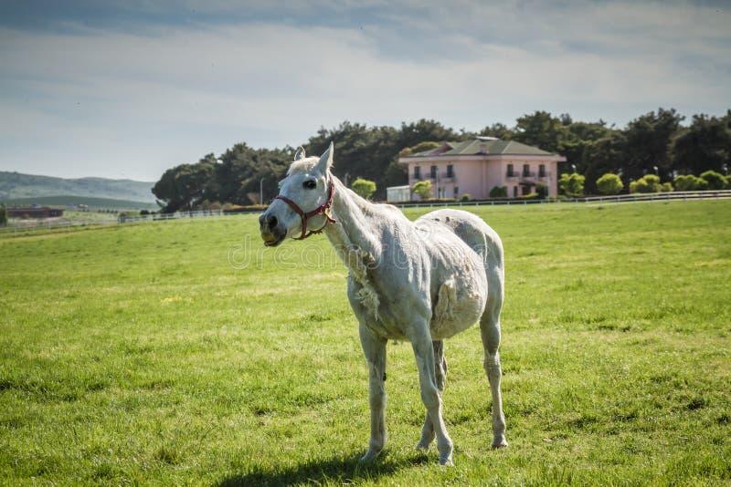 Caballo blanco hermoso que pasta en el prado fotografía de archivo