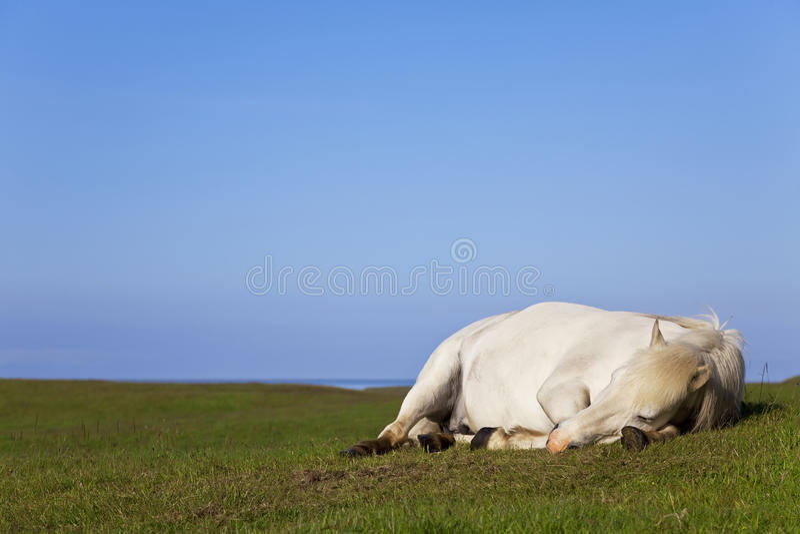 Caballo blanco que duerme en un campo fotografía de archivo libre de regalías