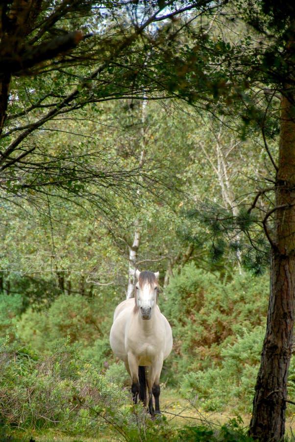 Caballo blanco que galopa a través de bosque foto de archivo libre de regalías