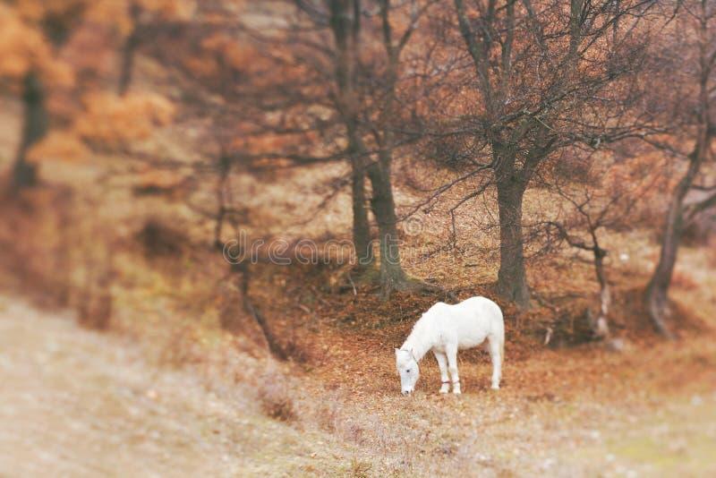 Caballo blanco que pasta el prado imagenes de archivo