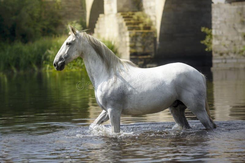 Caballo blanco que sorprende que camina en el río en Lugo, España imagenes de archivo