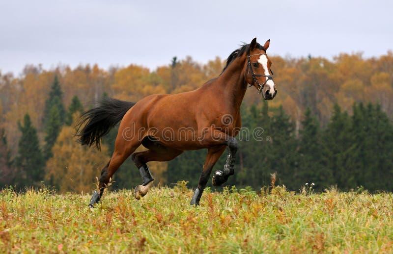Caballo corriente en el campo del otoño imagen de archivo