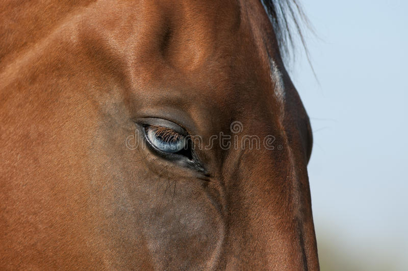 Caballo de Akhal-teke con los ojos azules hermosos fotografía de archivo libre de regalías