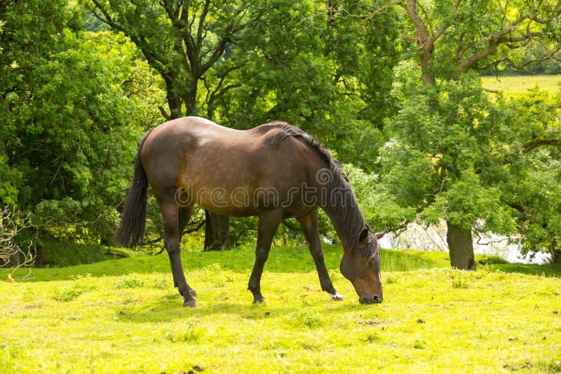 Caballo, caballo de bahía hermoso que pasta en un prado verde enorme en North Yorkshire rural, Reino Unido imagen de archivo libre de regalías