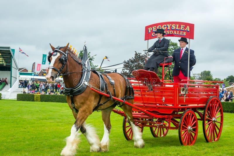 Caballo de Clydesdale en el desfile pesado del caballo en la gran demostración 2019 de Yorkshire fotografía de archivo libre de regalías