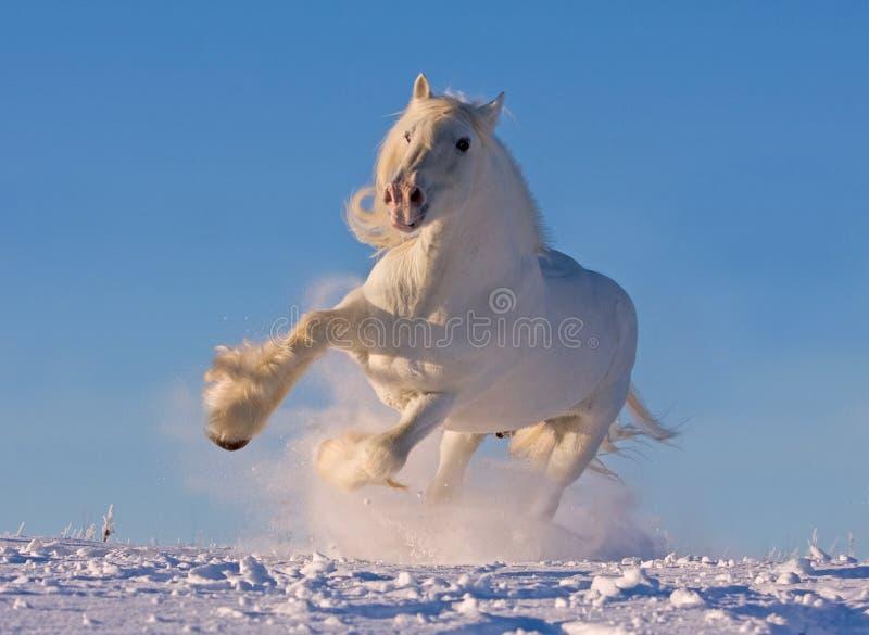 Caballo de condado blanco que se ejecuta en la nieve fotografía de archivo libre de regalías