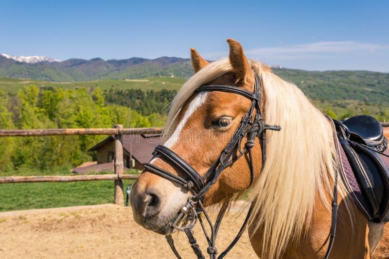 Caballo de Haflinger también conocido como Avelignese en un equestr de la granja del caballo foto de archivo libre de regalías
