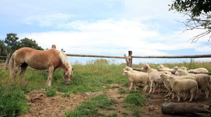 Caballo de Haflinger y sheeps de Skudde. imagenes de archivo