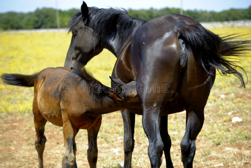 caballo de la madre con el potro fotos de archivo