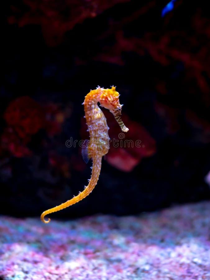Caballo de mar en acuario Estos seahorses viven en los mares calientes alrededor de Indonesia, de Filipinas y de Malasia foto de archivo libre de regalías