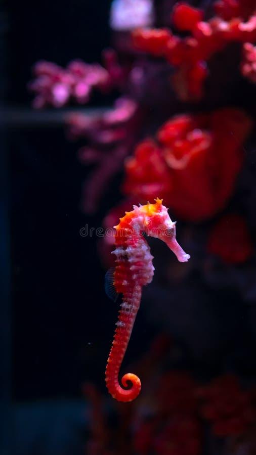 Caballo de mar en acuario Estos seahorses viven en los mares calientes alrededor de Indonesia, de Filipinas y de Malasia foto de archivo
