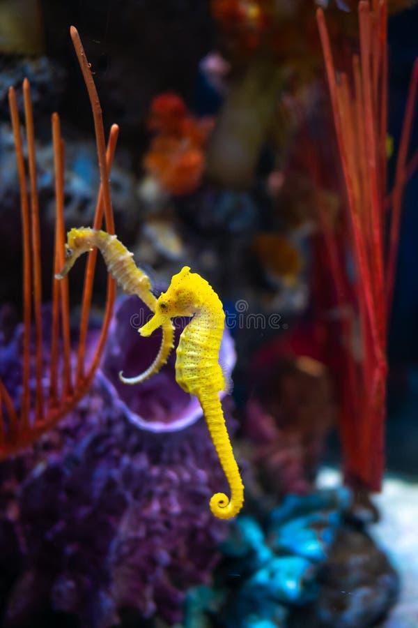 Caballo de mar en acuario Estos seahorses viven en los mares calientes alrededor de Indonesia, de Filipinas y de Malasia fotografía de archivo libre de regalías
