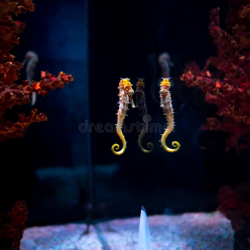 Caballo de mar en acuario Estos seahorses viven en los mares calientes alrededor de Indonesia, de Filipinas y de Malasia fotos de archivo