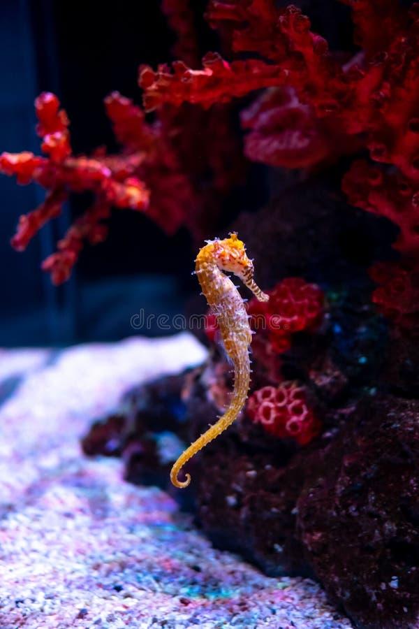 Caballo de mar en acuario Estos seahorses viven en los mares calientes alrededor de Indonesia, de Filipinas y de Malasia imagenes de archivo
