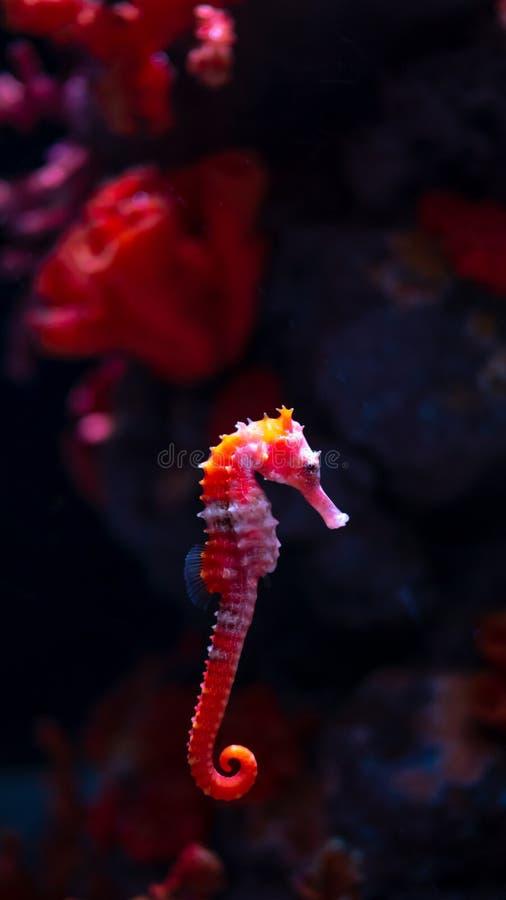 Caballo de mar en acuario Estos seahorses viven en los mares calientes alrededor de Indonesia, de Filipinas y de Malasia imágenes de archivo libres de regalías